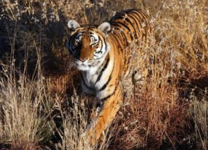http://animal.discovery.com/tv/tiger-spy-jungle/tigers-world/south-china-tiger.html